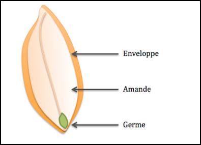 gluten, structure d'un grain de blé
